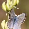 Boisduval's Blue_Pine Mountain_Ventura Co_CA-6096