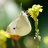 Cabbage White- VenCo_CA_9147
