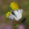 Checkered White_Ormond Beach_ventura Co_CA 008-2