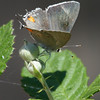Gray Hairstreak_Ventura_Ventura Co_CA-8843