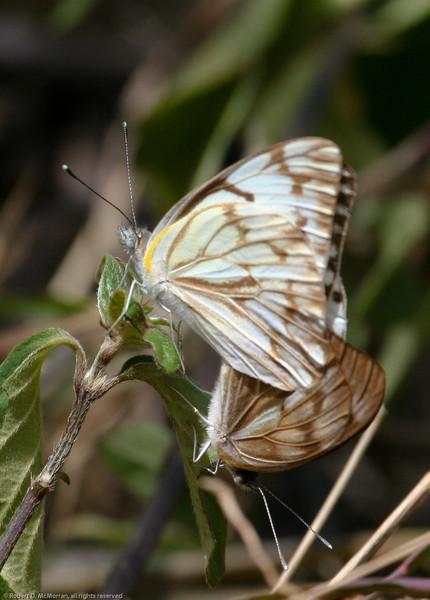 Butterfly_Mpala_Kenya-9213