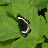 Red-spotted Admiral-white form_Beatton Provincial Park_BC_Canada-137-2