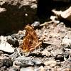 Satyr Comma_Chiricahua Mtns_AZ 2212