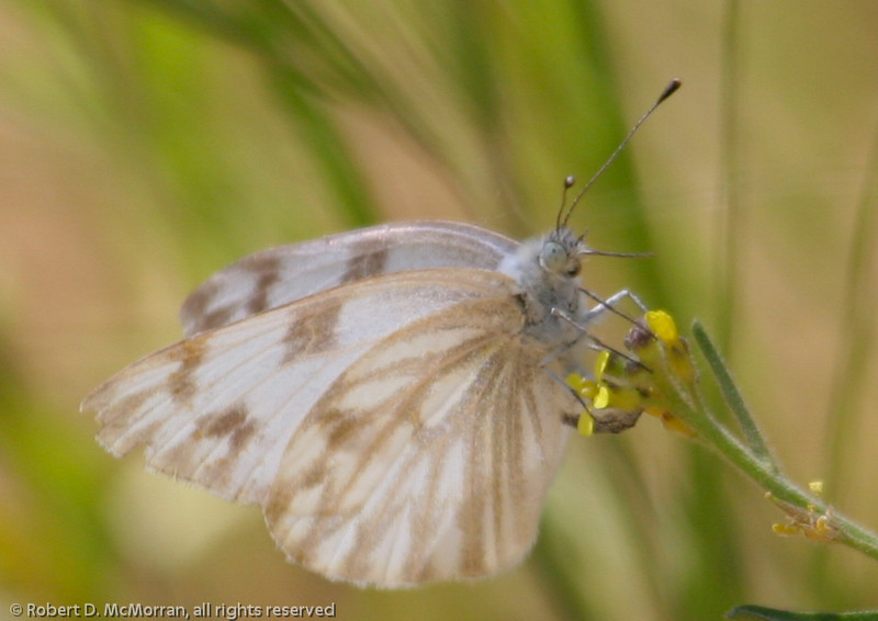 Checkered White- VenCo_CA_6054