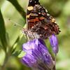 West Coast Lady_HornCyn_Ventura Co_CA-0769