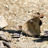 Common Buckeye_SCRE_Ventura Co_CA-063