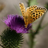 Fritillary_Eagle Lake_Lassen County_CA-9540