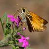 Skipper_Chiricahua Mtns_AZ-2343-1