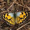 Butterfly_Mpala_Kenya-9669