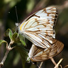Butterfly_Mpala_Kenya-9215