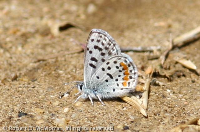 Blue_Butterbredt Spring_Kern Co_CA-154