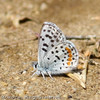 Blue_Butterbredt Spring_Kern Co_CA-154
