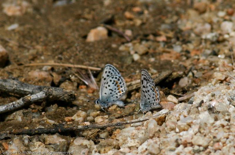 Blue_Butterbredt Spring_Kern Co_CA-142