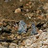 Blue_Butterbredt Spring_Kern Co_CA-142
