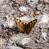 Butterfly_Ormond Lk_BC_Canada-0940