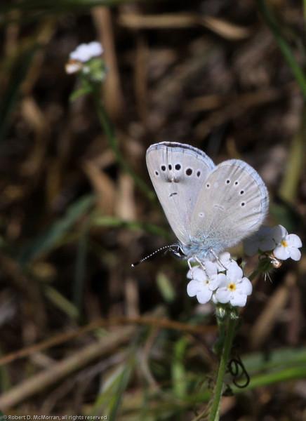 Silvery Blue_SisarCyn_Ventura Co_CA-0359