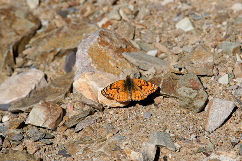 Sagebrush Checkerspot_Death Valley_CA-396