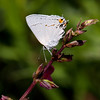 Gray Hairstreak_Ventura_Ventura Co_CA-2493
