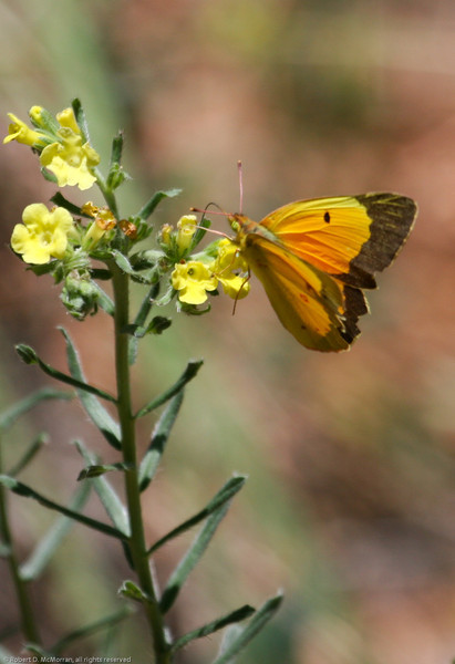 Orange Sulphur_Chiricahua NM_AZ-2215-1