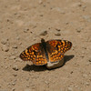 Sagebrush Checkerspot- Sisar Cyn_CA_6428