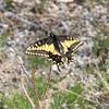Desert Black Swallowtail_CuddebackDryLake_CA-0073