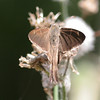 Brown Longtail_Rio Grande Valley_TX 006