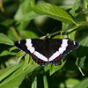 Red-spotted Admiral-white form_Beatton Provincial Park_BC_Canada-333