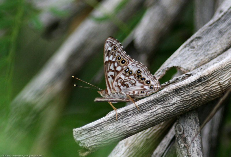 Hackberry Emperor_Rio Grande Valley_TX-371