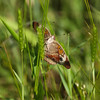 Common Buckeye_Arkansas-3786-2