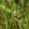Common Buckeye_Arkansas-3786-2