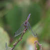 Dragonfly_Mpala_Kenya-9667