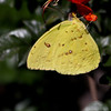 Cloudless Sulphur_Ventura_Ventura Co_CA-3563