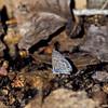Marine Blue- Madera Canyon-AZ- 8-31-2004_2