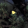 Cloudless Sulphur-F- Madera Canyon-SE Arizona- 8-31-2004_1