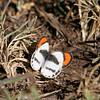 Butterfly_Mpala_Kenya-9090