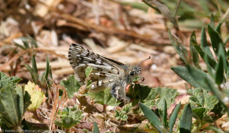 Common Checkered-Skipper- VenCo_CA__6843