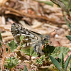 Common Checkered-Skipper- VenCo_CA__6843