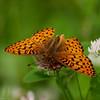 Fritilllary G_Beatton Provincial Park_BC_Canada-154