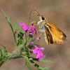 Skipper_Chiricahua Mtns_AZ-2340-1