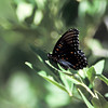 Red-Spotted Purple Admiral- AZ- 2004_2
