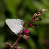 Gray Hairstreak_Ventura_Ventura Co_CA-2494