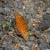 Gulf Fritillary-Hawaii-7938