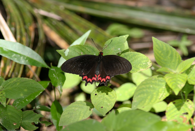 Butterfly- Coba_MX 181