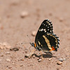 Bordered Patch_Chiricahua NM_AZ-2190