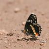 Bordered Patch_Chiricahua NM_AZ-2190