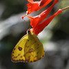 Cloudless Sulphur_Ventura_Ventura Co_CA-3005