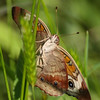 Common Buckeye_Arkansas-3786