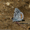 Blue_Butterbredt Spring_Kern Co_CA-147
