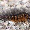 Caterpilllar-SaticoyPonds_VenCo_CA-9217
