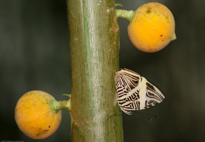 Butterfly- Puerto Morelos_MX 551